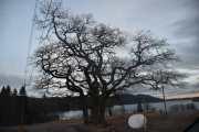 Vi kjører videre mot Dausjøbrua, men først så passerer vi dette store merkelige treet