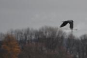 Men nå dukker det opp en fugl igjen, en Kråke