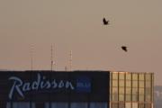 To fugler og Radisson Blu hotellet