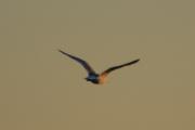 Lurer på hva en Måke tenker på når den flyr slik mot horisonten - mat sikkert
