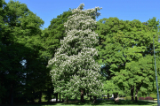 At Slottsparken har en lang historie skal ikke jeg utdype her, men at det er mange gamle staselige trær her er det ingen tvil om. Nå er ikke jeg noen gartner, men dette må være et gammelt Kastanjetre i blomst