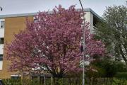 Vi har så god tid at vi rekker å ta bilde av et fint tre som blomstrer ved Simensbråten