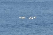 Noen svaner svømmer der ute