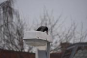 En Kråke har funnet seg en godbit og fant et passende sted å spise