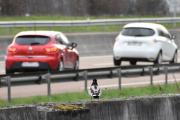 Har selvfølgelig reist langt for å gi Knut dette bilde, en Stokkand og to Renault-er