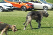 Renault og Walisisk Terrier og Irsk ulvehund