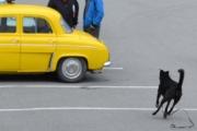 Renault og løshund