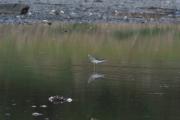 Knut 11 mai 2019 - En Strandsnipe i Susebukta i Sandefjord