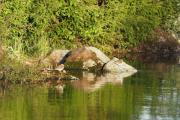 Knut 12 mai 2019 - 2 Strandsniper ved kirkeruinen i vannkanten
