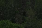 Knut 27 mai 2019 - Duene fosset ut av skogen ved Vaggestein, sikkert en rovfugl i skogen