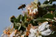 Morten 15 mai 2019 - Bie eller Veps, det betyr at pass deg for Veps, Bien er ikke så farlig når den har stukket en gang. Da er spørsmålet, ser du forskjellen?