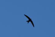 Morten 25 mai 2019 - Mange fugler i luften i dag, antagelig en Låvesvale