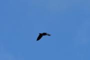 Morten 26 mai 2019 - Stor fugl antagelig en svane over Høyenhall og den fløy mot månen