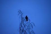 Det er fugler også på Kløfta, dette er en Kråke