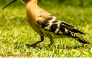Men nå skjønner jeg meldingene, han har funnet navnet på fuglen - bra Vidar! Det er en Indisk Hoopoe-Upupa epops du tok bilde av