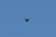 Men om det er en Kråke eller en annen stor fugl, så ble dette for langt unna