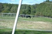 Flere hester, men det er en annen på dette bilde også
