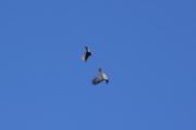 En Kråke og en enten en Musvåk eller Spurvehauk kranglet så fjæra føyk