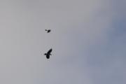 Nå står Knut ved siden av og observerer det samme så hvilken fugl den andre er for vi sikkert vite