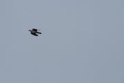 Knut fanger også opp en Due som flyr i luften