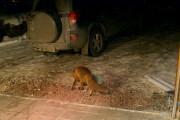 Knut 8 februar 2021 - På sin ferd i Maridalen oppdager han mange dyr