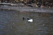 Østensjøvannet 11 mars 2017 - Kvinand - hann-hunn som svømmer side om side