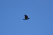 Østensjøvannet 11 mars 2017 - Kråke igjen, en elegant flyver