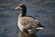 Østensjøvannet-11-mars-2017 - Flott fugl da