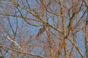 Østensjøvannet 11 mars 2017 - Mystisk fugl, dobbel så stor som en Kråke men hva kan det være?