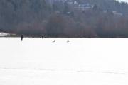 Østensjøvannet 11 mars 2017 - Svaner og mennesker side om side på isen