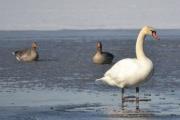 Østensjøvannet 11 mars 2017 - Knoppsvane med Grågås i bakgrunnen