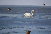 Østensjøvannet 11 mars 2017 - Og Svanen svømmer forbi