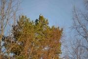 Ingen tvil, dette er Skjæra som sitter på toppen av et tre