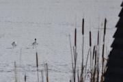 Før jeg går inn i fugleobservatoriet tar jeg et bilde, men ser ikke noe til de fire svanene