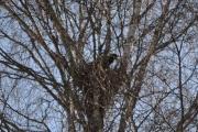 Og en Kråke gjør klart reiret sitt der oppe