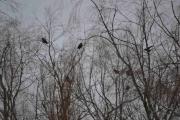 Jeg ser minst seks Kråker i trærne foran meg