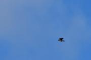 Ny fugl i lufta