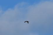 Ny fugl i lufta, hvit bak og litt gul foran