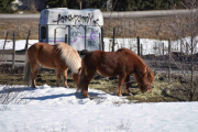 To hester eller skal vi si Ponnier?