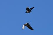 Det er jo artig å ta bilder av fugler i luften