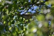 Hei en småfugl, kan det være en Gulspurv?