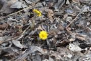Østensjøvannet 8 april 2017 - Blomster