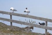Østensjøvannet 8 april 2017 - Fugler på gjerdet