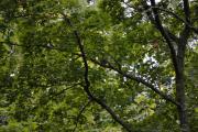 Hovedøya - Endelig, en Ringdue i treet langt der borte