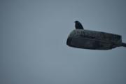 En fugl i sikte, sikkert en Kråke