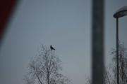 Ny fugl i sikte, er nok Kråke dette også