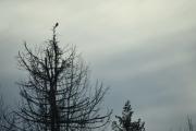 En fugl, en Skjære