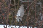 Jo en fugl som er hvit på undersiden
