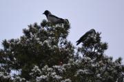 Vi rusler hjemover og tar et bilde av et par Kråker som sitter på toppen der i Steinborgveien