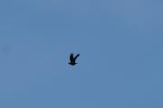 Fredag - En fugl flyr over oss, men jeg tror det er en Kråke